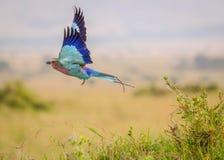 Un pájaro colorido del rodillo de la lila-breasted toma vuelo foto de archivo