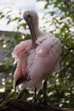 Un pájaro colorido del Spoonbill rosado foto de archivo libre de regalías