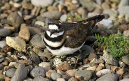 Un pájaro con sus huevos Fotos de archivo libres de regalías