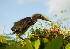 Un pájaro de bebé se encaramó en follaje tropical en un jardín en Bequia Foto de archivo libre de regalías