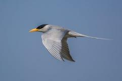 Un pájaro de la golondrina de mar del río foto de archivo
