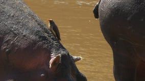 Un pájaro del oxpecker se sienta en un hipopótamo y sube su cuello en masai Mara metrajes