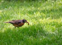 Un pájaro del petirrojo con dos worns en su pico fotos de archivo