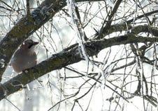 Un pájaro en invierno Fotos de archivo libres de regalías