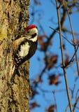 Un pájaro en invierno Foto de archivo libre de regalías