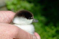 Un pájaro en la mano es seguro Un anadón mullido sostenido con seguridad imagen de archivo