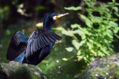 Un pájaro negro de las garzas que está en un lago en tiempo del día oppen las alas fotos de archivo libres de regalías