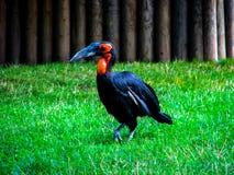 Un pájaro negro interesante con un pico largo pasa a través de la hierba imagen de archivo libre de regalías