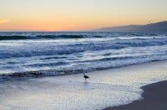 Un pájaro que camina en la playa en la puesta del sol Fotos de archivo