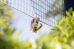 Un pájaro que crea la red en la cerca plástica Foto de archivo libre de regalías