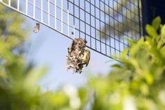 Un pájaro que crea la red en la cerca plástica Fotos de archivo libres de regalías