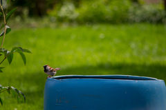 Un pájaro que se sienta en un barril en un jardín Imagen de archivo libre de regalías