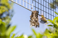 Un pájaro que vuela detrás su red con un poco de material en el soporte, también detallado en el ala con cerrado para arriba Fotos de archivo