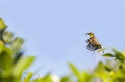 Un pájaro que vuela detrás su red con un poco de material en el soporte, también detallado en el ala con cerrado para arriba Foto de archivo