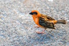 Un pájaro rojo de Fody, madagascariensis de Foudia, también conocido como Madagascar Fody en Victoria, Seychelles imagen de archivo libre de regalías