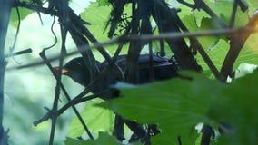 Un pájaro se sienta en una vid y sostiene una baya en su pico, comida para los polluelos almacen de metraje de vídeo