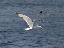 Un pájaro sobre el mar Fotos de archivo
