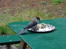 Un pájaro valiente atraído a un scone del arándano Imagen de archivo