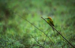 Un pájaro verde del comedor de abeja Imagen de archivo