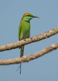 Un pájaro verde del comedor de abeja Foto de archivo
