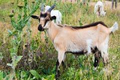 Un pâturage plus aimable de chèvre Image stock