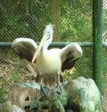 Un pélican affiché par tache avec les ailes répandues photographie stock