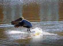 Un pélican brun émergeant de l'eau de la rivière Photographie stock