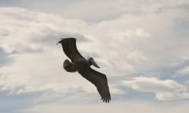 Un pélican de Brown montant dans un ciel partiellement nuageux image libre de droits