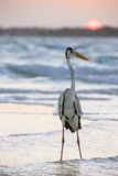 Un pélican sur la plage au lever de soleil Photos libres de droits