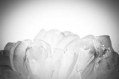 Un pétalo de la flor de loto abierta Imágenes de archivo libres de regalías