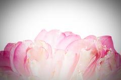 Un pétalo de la flor de loto abierta Foto de archivo libre de regalías