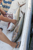 Un pêcheur nettoie les poissons fraîchement pêchés photo stock