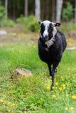 Un pío blanco y negro en una granja Fotografía de archivo libre de regalías