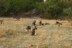 Un pacchetto dei cani selvaggi africani Fotografie Stock