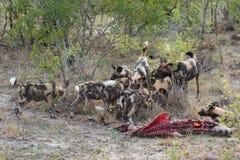Un pacchetto dei cani selvaggi su una carcassa Immagini Stock