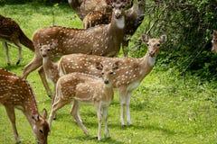 Un pacchetto dei cervi macchiati vigilanti Fotografie Stock