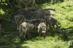 Un pacchetto dei coyote di urlo Fotografie Stock Libere da Diritti