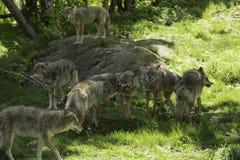Un pacchetto dei coyote di urlo Fotografia Stock Libera da Diritti