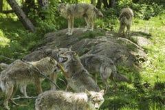Un pacchetto dei coyote di urlo Fotografie Stock