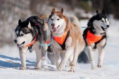 Un pacchetto dei husky siberiani dei cani di slitta in inverno Fotografie Stock