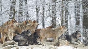 Un pacchetto dei lupi Fotografia Stock