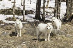 Un pacchetto dei lupi artici Fotografia Stock