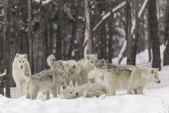 Un pacchetto dei lupi artici nell'inverno Fotografia Stock Libera da Diritti