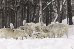 Un pacchetto dei lupi artici nell'inverno Fotografia Stock