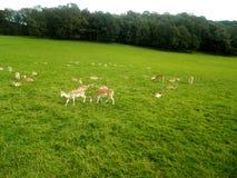 Un pacchetto delle antilopi Immagine Stock