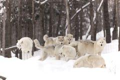 Un pacchetto di gioco artico dei lupi Immagini Stock Libere da Diritti