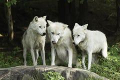 Un pacchetto di lupo artico in una foresta Fotografia Stock