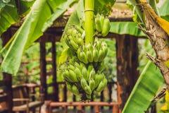 Un pacco di giovane banana sul banano Fotografia Stock Libera da Diritti