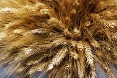 Un pacco di grano maturo, spighette con i grani sui gambi, un nuovo raccolto Immagini Stock Libere da Diritti