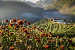 Un paesaggio del campo 2000 della piantagione di tè con nebbia nella mattina a Doi Ang Khang, Chiangmai, Tailandia Fotografie Stock